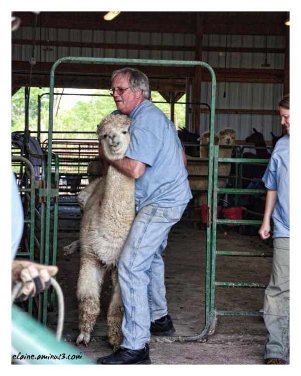 alpaca taken to be sheared