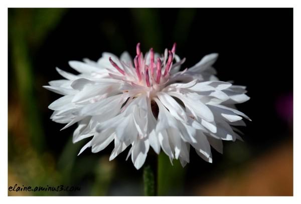 white cornflower