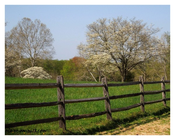 fence and dogwoods
