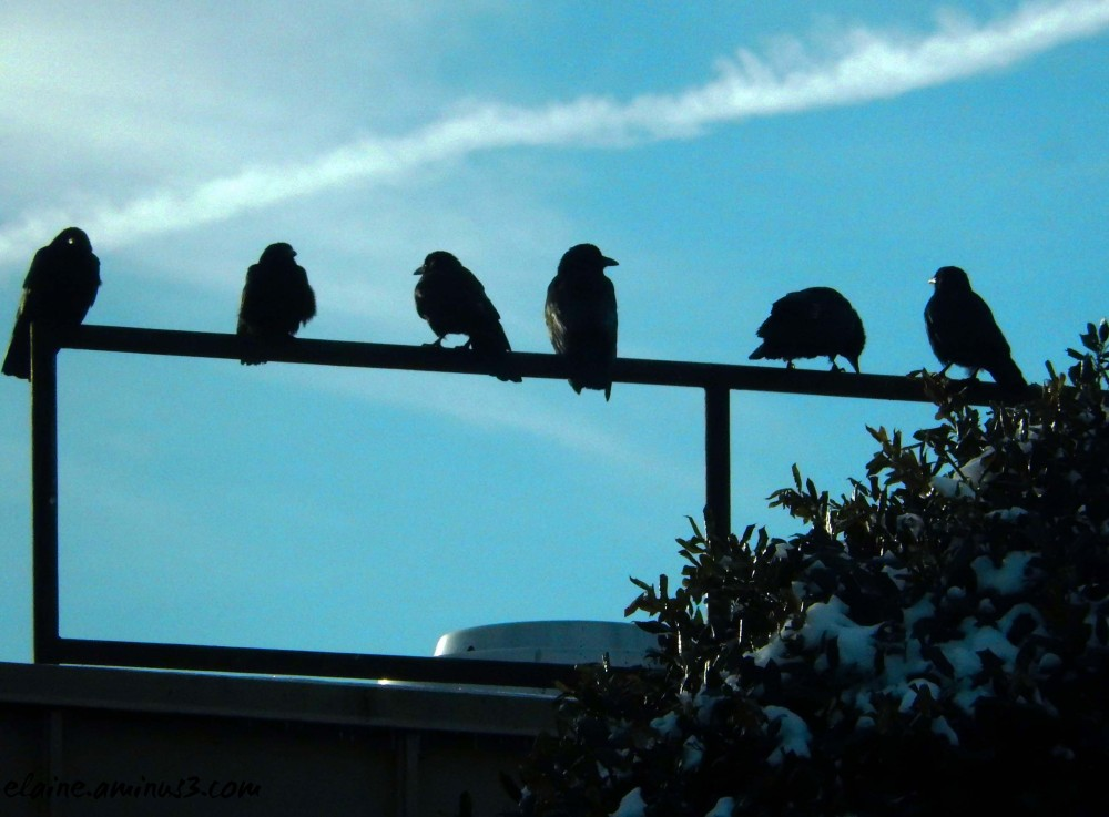 crows on a railing