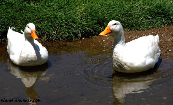 Puddle Ducks