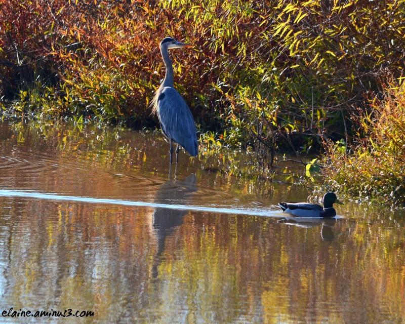 heron and mallard duck