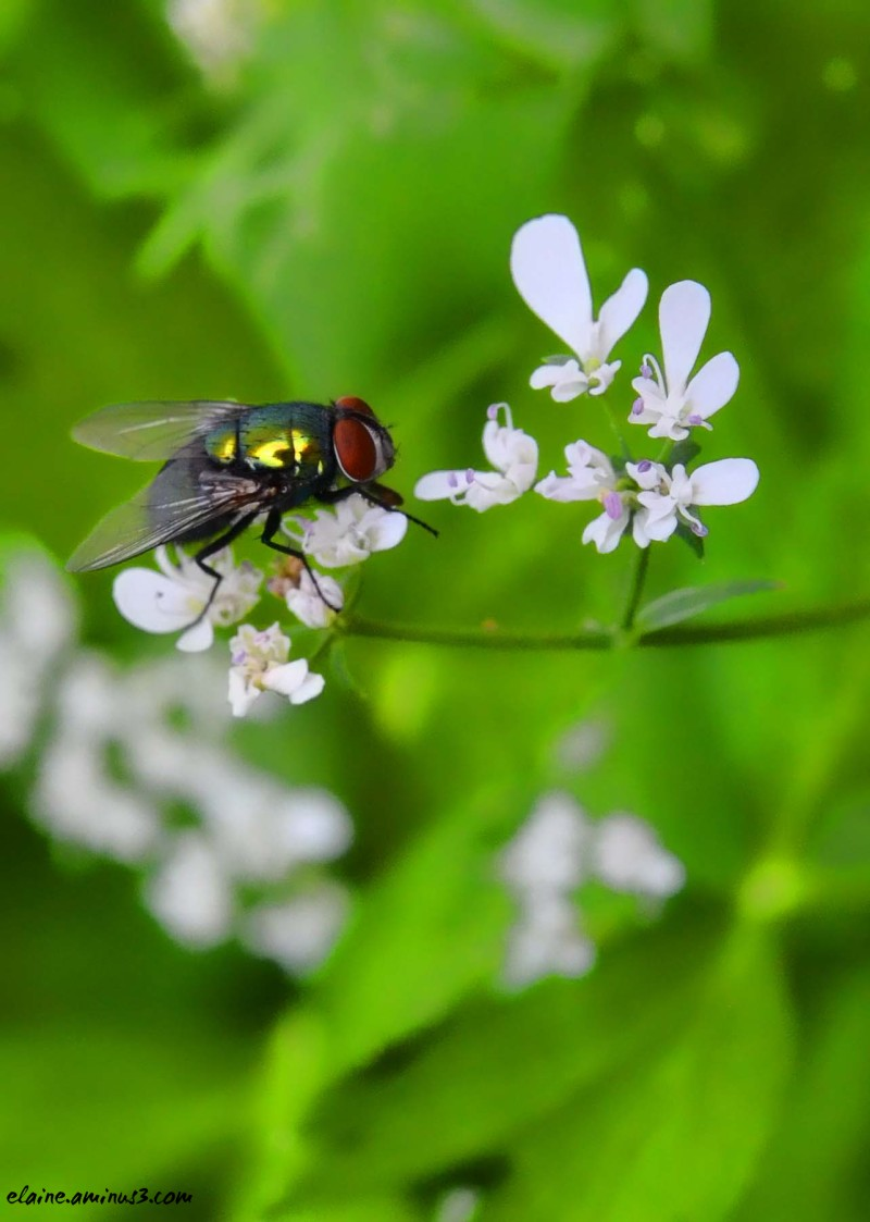 Fly on Flowering Cilantro