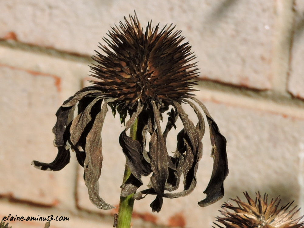 dried coneflower