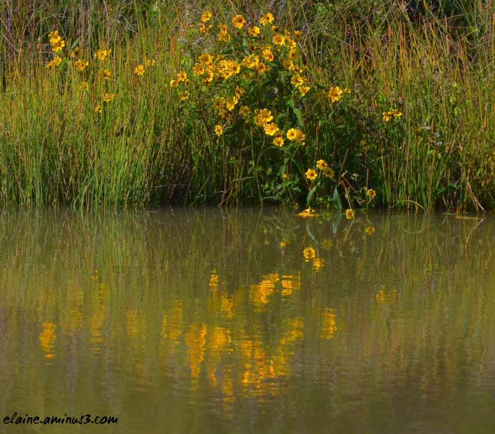 yellow flowers and reflection