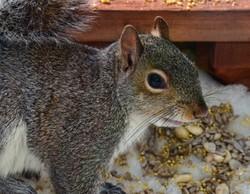Peanut Hoarder