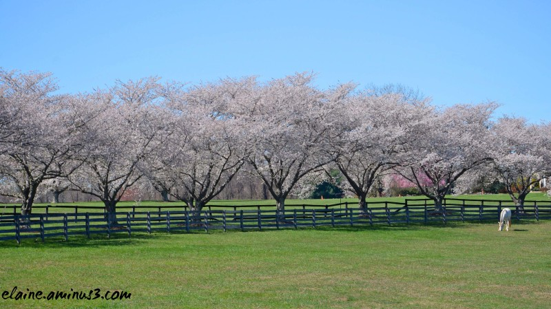 horse and tree blossoms
