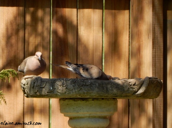 mourning doves at the bird bath