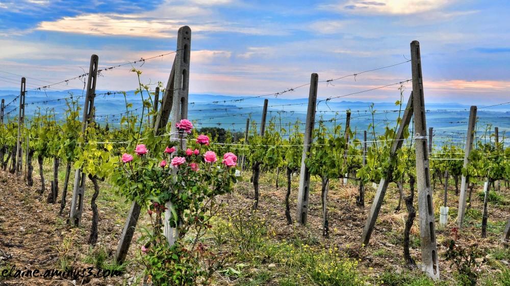 rose bush and vineyard