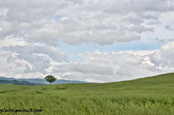 tree in wheat field