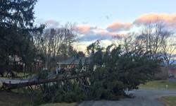 pine tree blown over