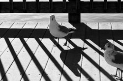 seagull and shadow