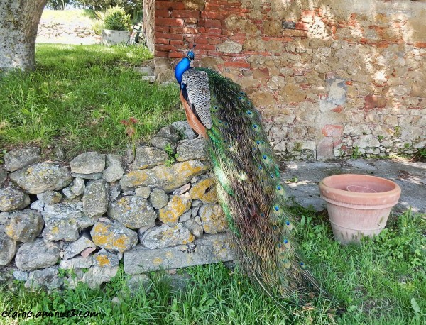 peacock on a wall