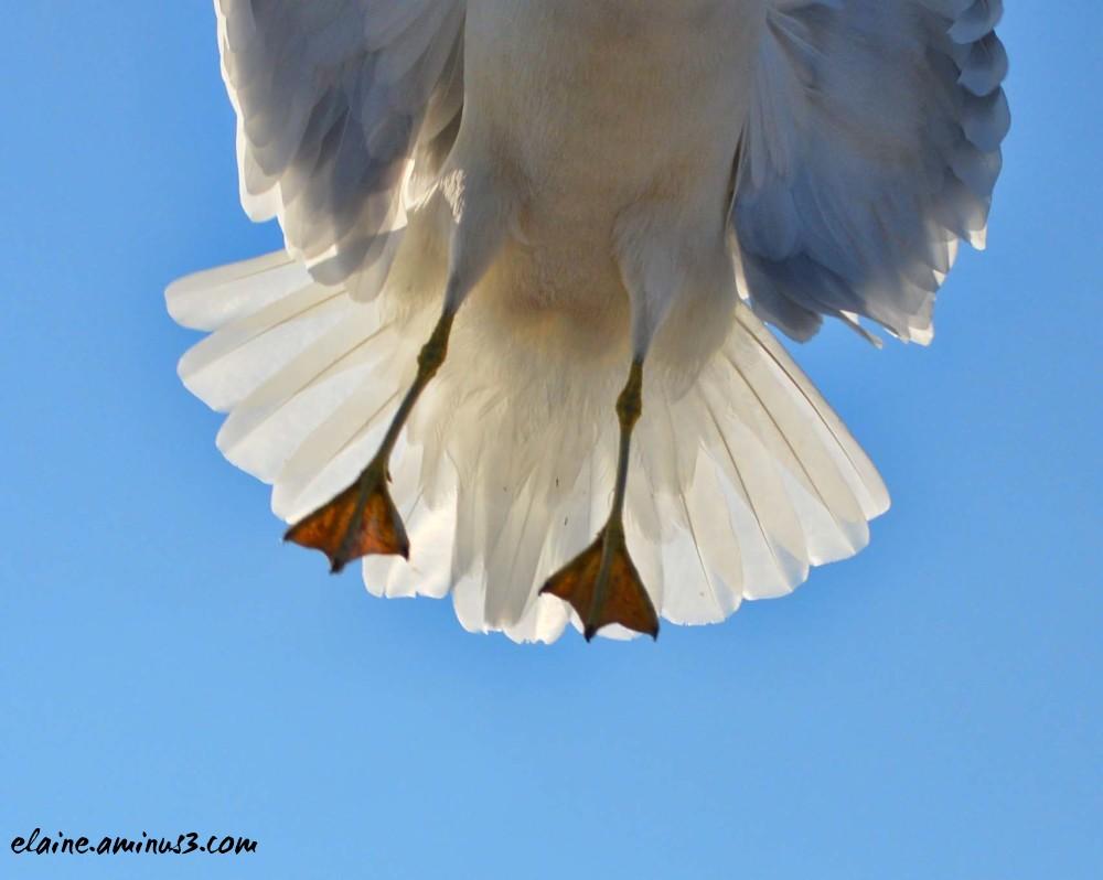 seagull feet