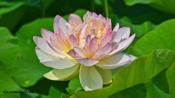 Lotus Full Bloom