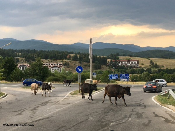 cows in traffic