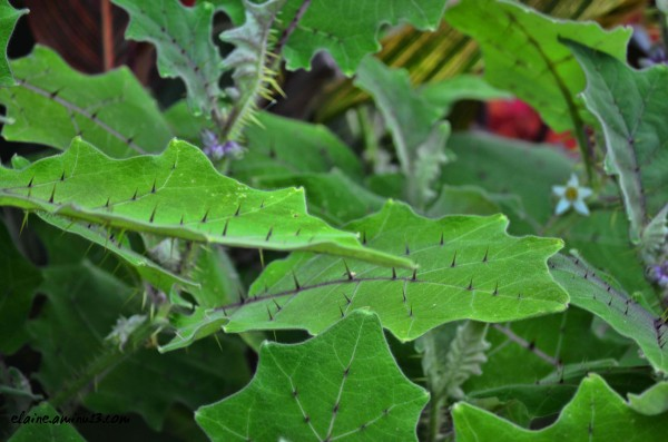 naranjilla leaves