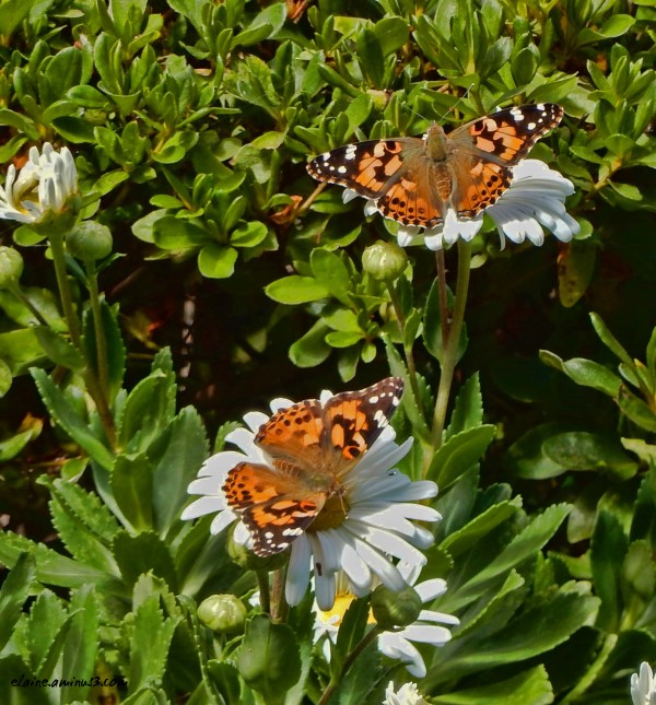 Two Painted Ladies