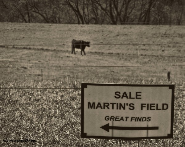 cow in field