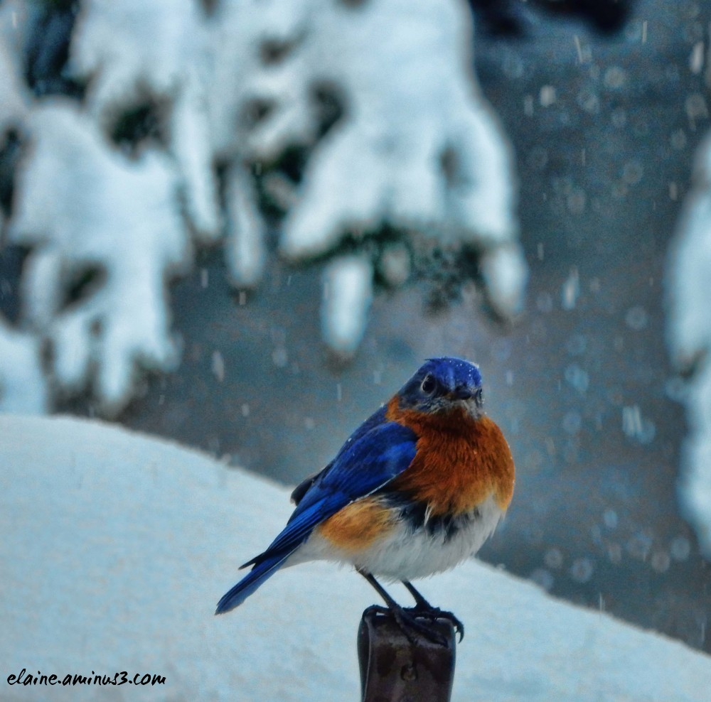 bluebird in snow
