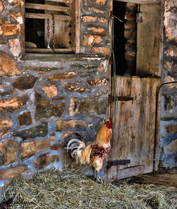 rooster and barn