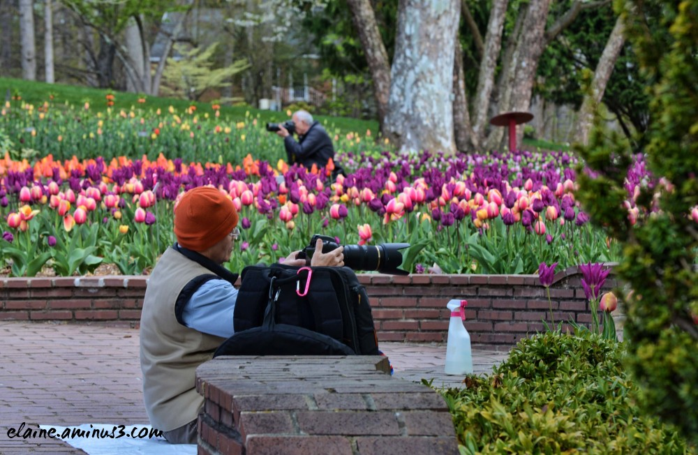photographer and tulips