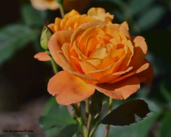 Apricot Tea Rose
