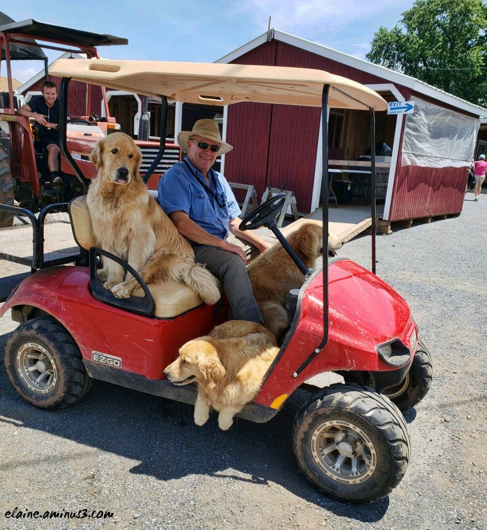 golden retrievers in golf cart