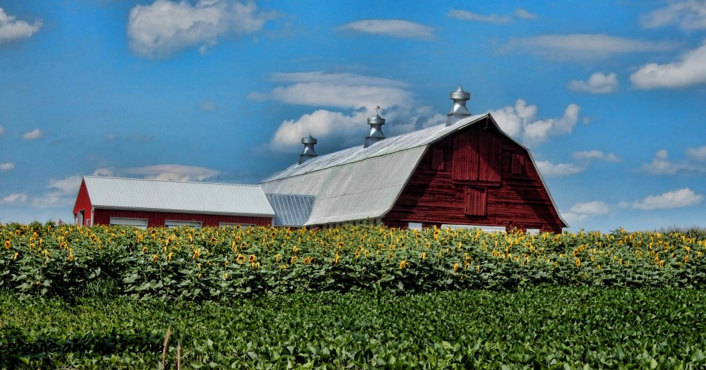 red barn with sunflowers