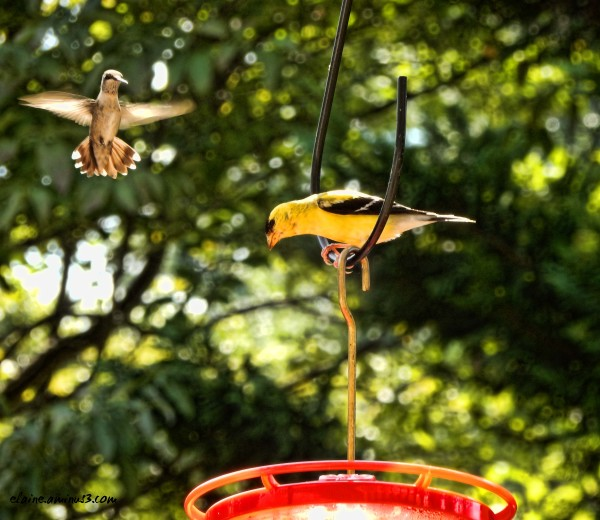 hummingbird and goldfinch