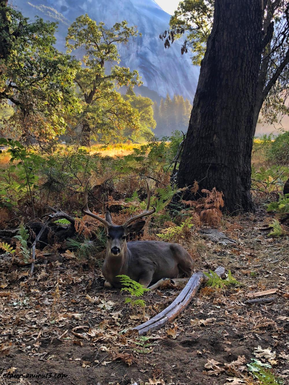 stag mule deer