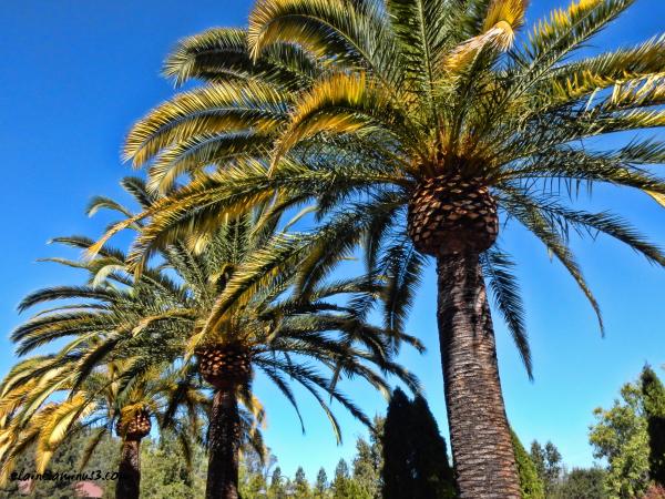 Napa palms