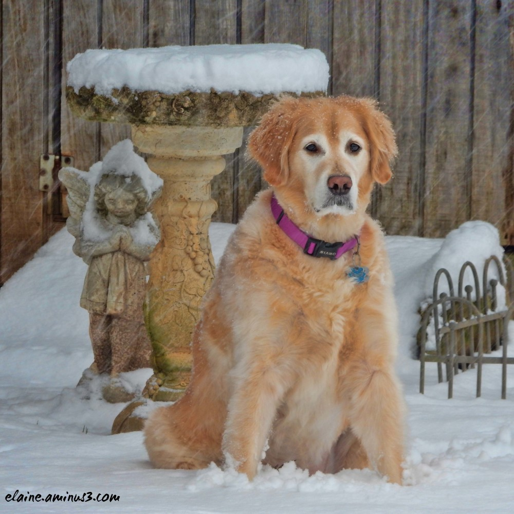 golden retriever and snow