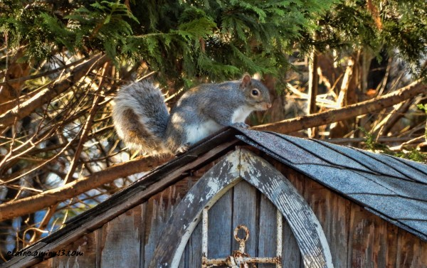 squirrel on shed