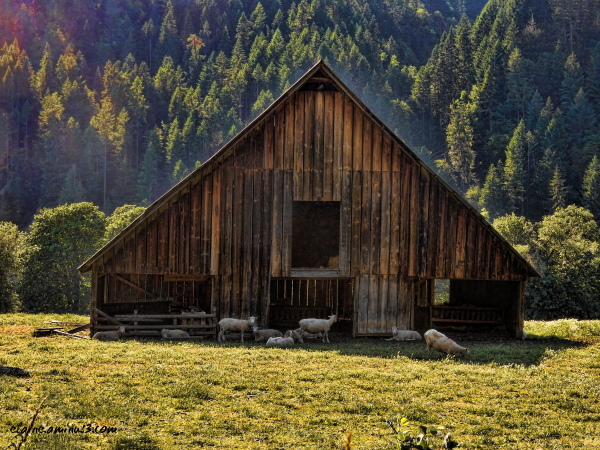 sheep and barn