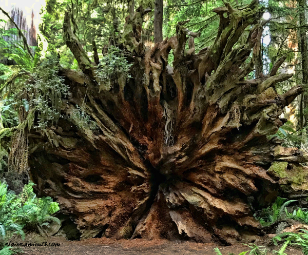 Fallen Giant Redwood
