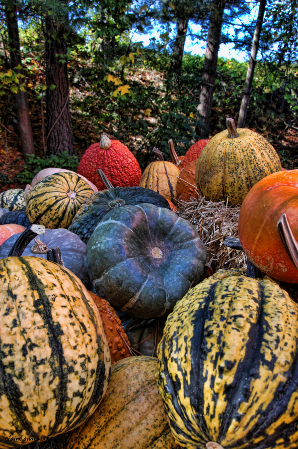 pumpkins Thanksgiving