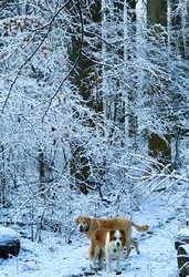 Dogs and snow