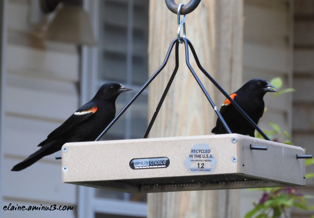 red winged blackbirds