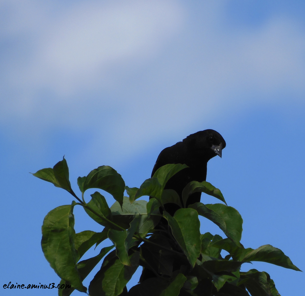 blackbird in tree
