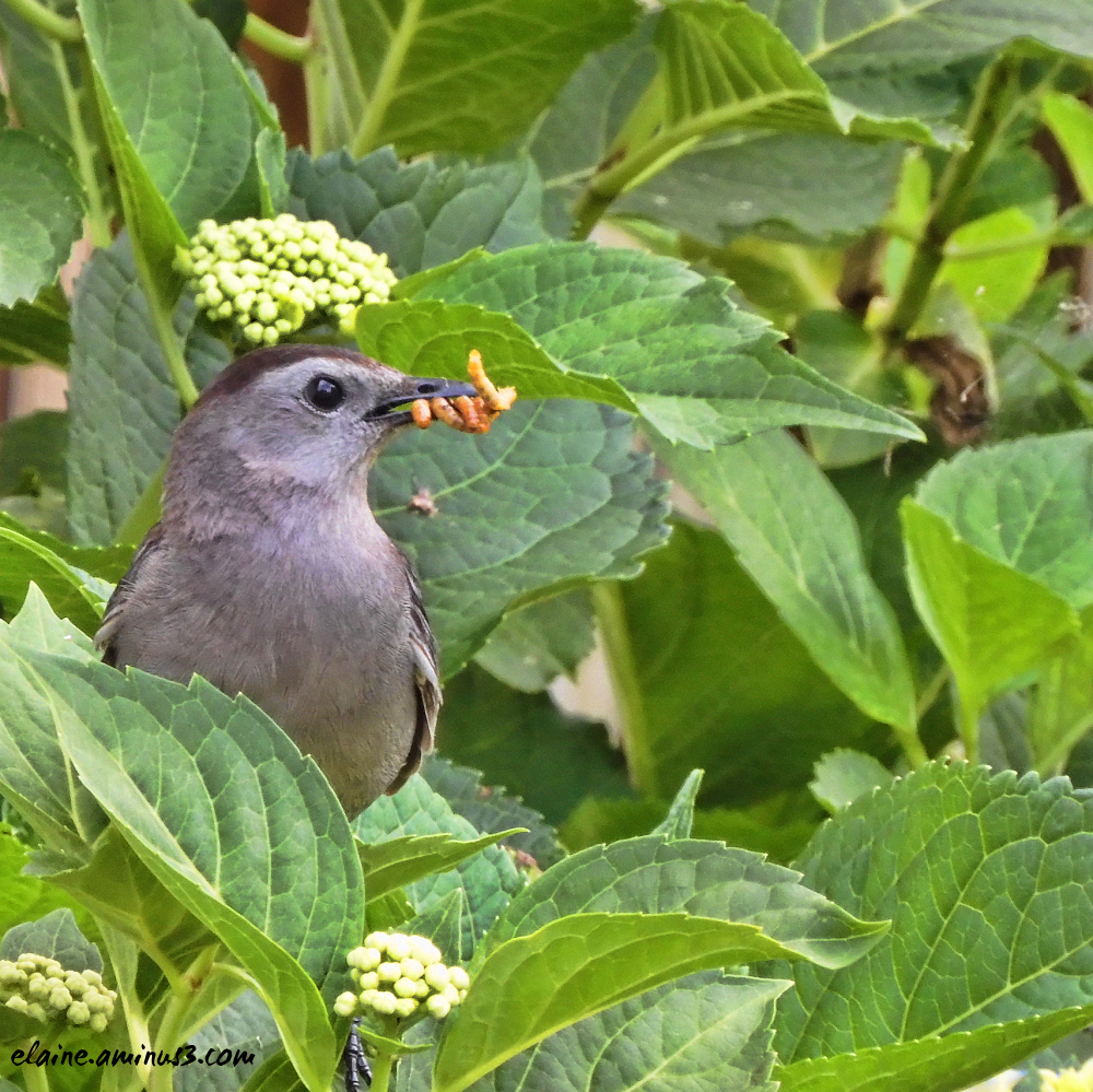 catbird with mealworms