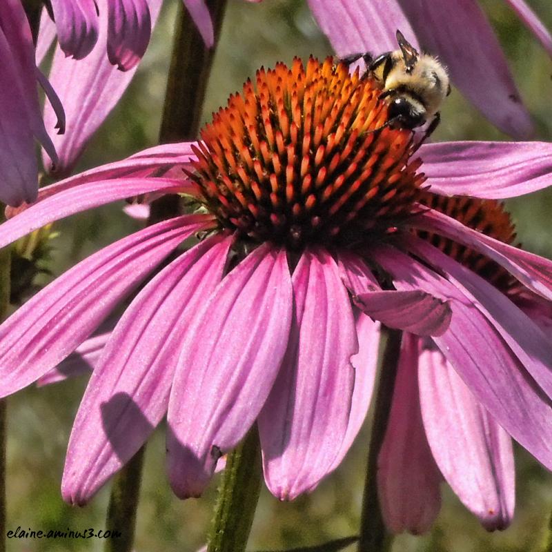 bee and coneflower