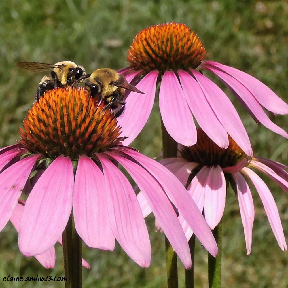 bees on coneflower