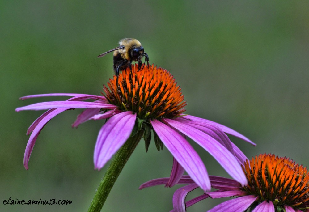 bee and coneflower