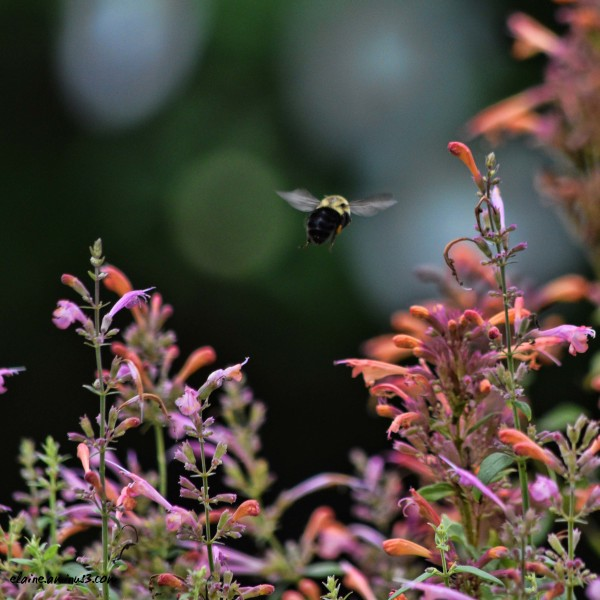 bee and hyssop