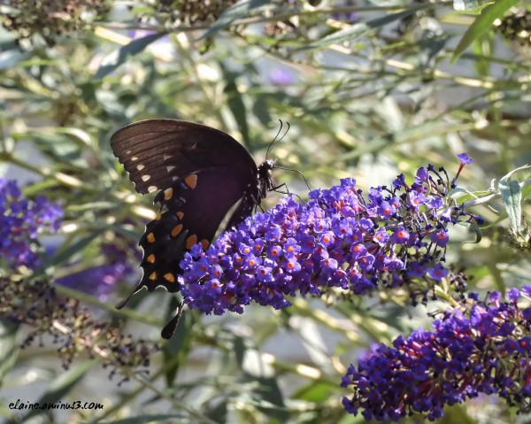 eastern black swallowtail butterfly