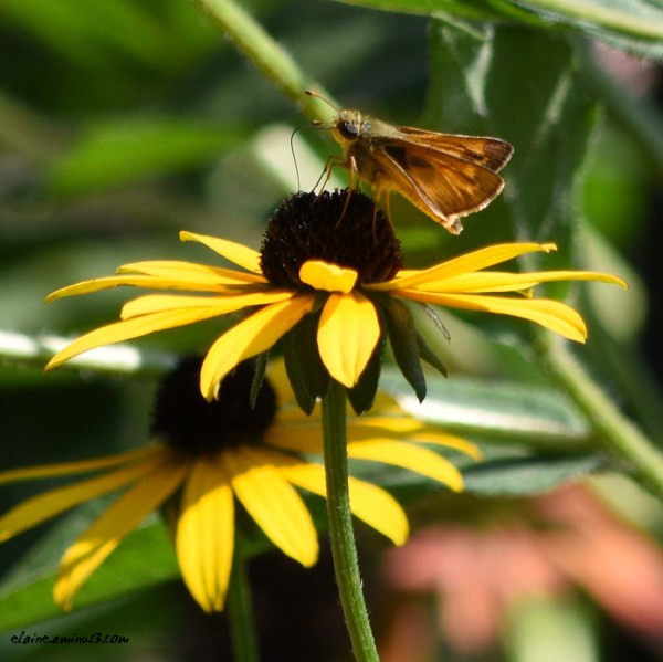 Little Skipper Butterfly