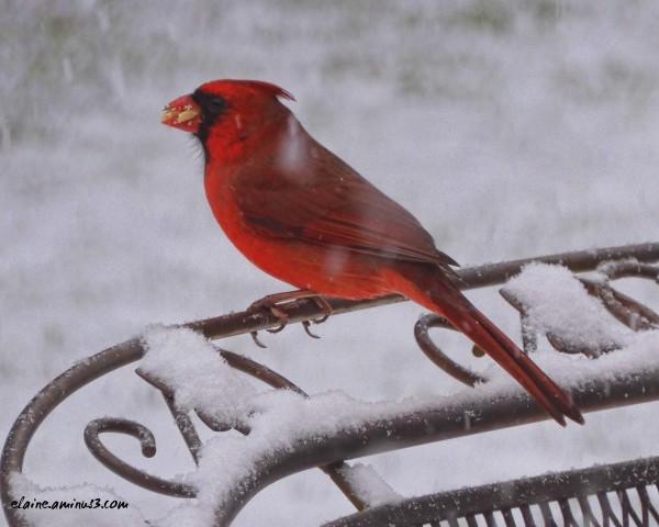 cardinal and snow