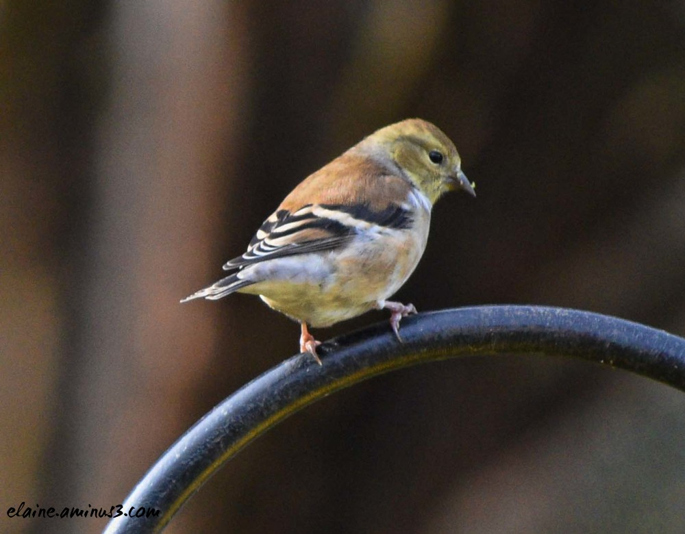 goldfinch