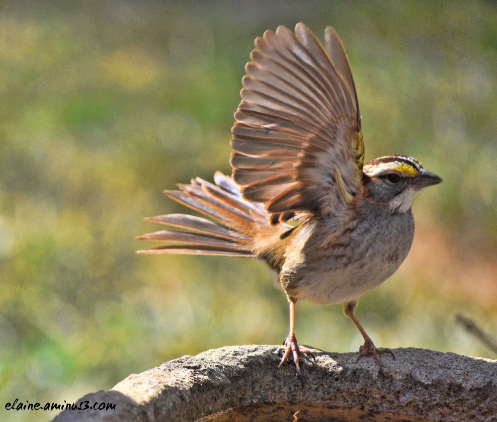 white throated song sparrow